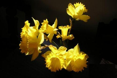 Sf.daffodil