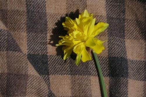 Ruffly.daffodil